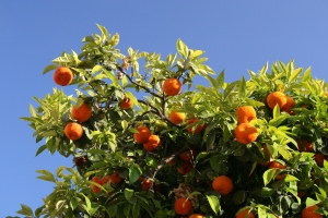 Fruit Tree