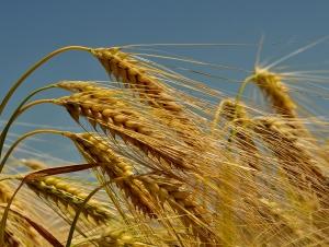 Wheat field against a blue sky.